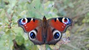 1只美丽的蝴蝶孔雀眼睛 库存图片
