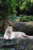 3只老虎白色 图库摄影