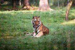 1只老虎 免版税库存照片