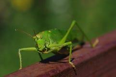 2只蚂蚱绿色 免版税库存图片