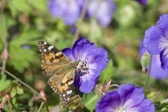 2只蝴蝶夫人被绘 免版税库存图片