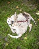 2只金毛猎犬小狗使用 免版税库存图片