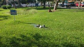 3只鸠在公园 库存图片