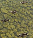 4只鸭子在水中 免版税库存图片