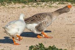 2只鸭子 免版税图库摄影