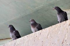 3只鸽子 库存图片