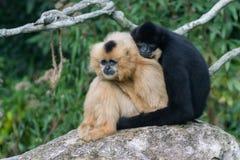 2只猴子拥抱 免版税图库摄影