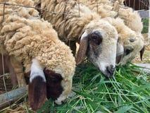 4只绵羊 图库摄影