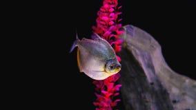 叫作与小sca报道的一个被环绕的身体的Pacu-peva的鱼 图库摄影