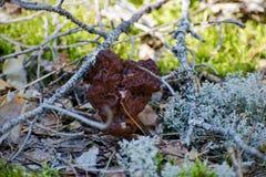 叫作人造的草笠竹Gyromitra Esculenta在森林里 免版税库存图片