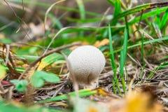叫作共同的马勃菌的年轻马勃属perlatum蘑菇 免版税库存图片
