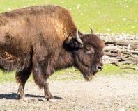 叫作北美野牛的美国水牛,猜错北美野牛在动物园里 免版税库存图片