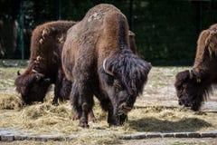 叫作北美野牛的美国水牛,猜错北美野牛在动物园里 免版税库存照片