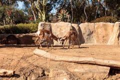 叫作叉角羚属的Pronghorn美国 免版税库存图片