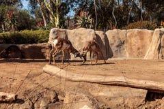 叫作叉角羚属的Pronghorn美国 库存图片