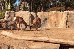 叫作叉角羚属的Pronghorn美国 库存照片