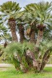 叫作帕尔米托或矮小的帕尔梅拉Chamaerops humilis的美丽的棕榈树与厚实的树干和不规则形状 库存图片