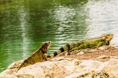 叫作绿色鬣鳞蜥的蜥蜴的主要大,树木,食草种类 库存照片