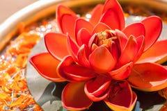 叫作莲花的美丽的红颜色莲属花 印度教和佛教的神圣的植物 图库摄影