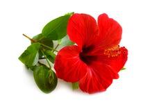 叫作蜀葵的红色木槿 其他名字包括强壮的木槿,上升了莎朗和热带木槿 ?? 图库摄影