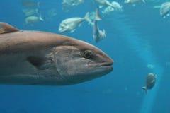 叫作金枪鱼、大西洋金枪鱼& x28的金枪鱼游泳的水中; 金枪鱼类thynnus& x29;北方蓝鳍金枪鱼 免版税库存照片