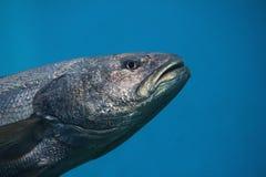 叫作金枪鱼、大西洋金枪鱼& x28的金枪鱼游泳的水中; 金枪鱼类thynnus& x29;北方蓝鳍金枪鱼 库存图片