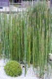 叫作马尾芦苇、粗砺的马尾、木贼、scouringrush马尾或者蛇草的木贼属植物hyemale 库存图片