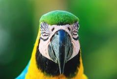 叫作Arara-caninde的青和黄色金刚鹦鹉在巴西 库存图片