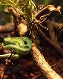 叫作Bothriechis lateralis的旁边镶边棕榈坑蛇蝎 库存图片