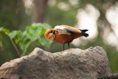 叫作Brahminy鸭子雄麻鸭类ferruginea的红润Shelduck 图库摄影