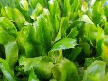 叫作culantro是一个热带可食的草本,刺芹属植物foetidum 图库摄影