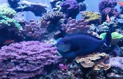 叫作Naso vlamingii的Bignose unicornfish 免版税库存照片