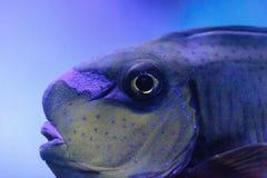 叫作Naso vlamingii的Bignose unicornfish 免版税库存图片