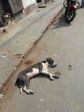 叫化子kolkata街道 流浪狗在街道睡觉 库存图片