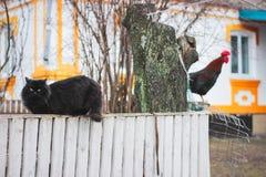 叫喊的公鸡 并且在篱芭特写镜头的猫 免版税库存照片