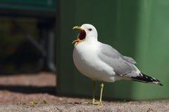 叫喊的海鸥。 库存图片