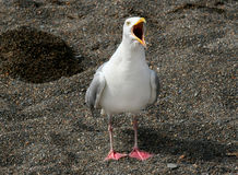 叫喊的海鸥 库存照片