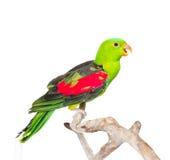 叫喊的红翼的鹦鹉(Aprosmictus erythropterus)在外形 查出在白色 免版税库存照片