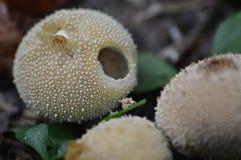 叫喊的蘑菇 库存照片
