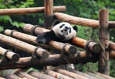 叫巨型帮助熊猫 库存图片
