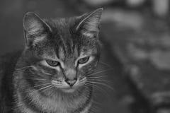 叫的一只两口气灰色猫 库存图片
