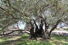 叫的欧洲maslina最旧的橄榄色stara结构树 库存照片