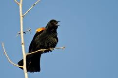 叫的美洲红翼鸫,当栖息在树时 库存照片