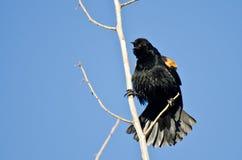 叫的美洲红翼鸫,当栖息在树时 库存图片