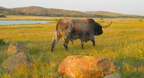 叫长角牛的公牛他的牧群 免版税库存照片