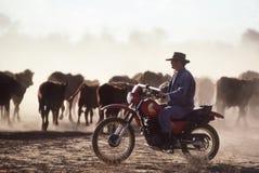 召集在马达自行车的牛 免版税库存照片