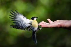 可以用手哺养山雀 免版税库存图片