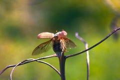 可以甲虫飞行 库存照片
