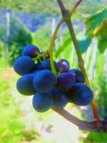 可以知道的最五颜六色的紫色葡萄 库存照片