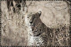 可印豹子的帆布 库存照片